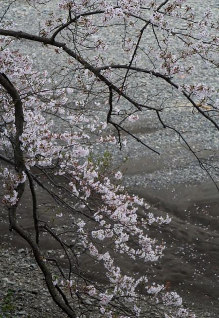 桜たて20160407_6201