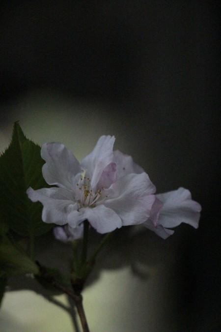 山桜20160407_6182
