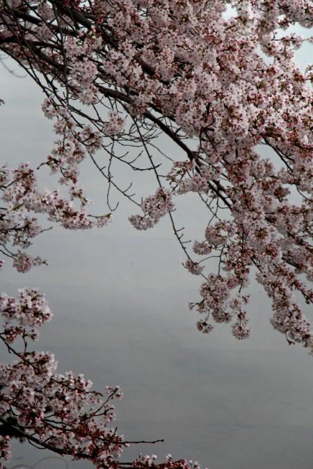 桜20160407_6197