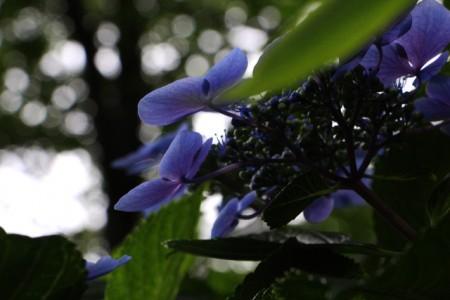紫陽花20160615_6322